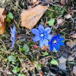 Blåveisの花が告げるノルウェーの春!子ども達が育む自然共存の心!