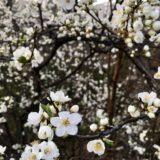 ドイツ・ミュンヘンで桜!4月にお花見が楽しめる!